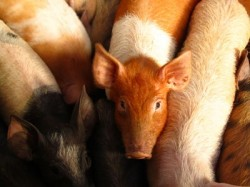 porcus piglet
